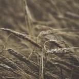 cjosefsson_artbycost_photo_wheat_Lovvik_HighCoast_20200905_DSC_0259_watermark_wp