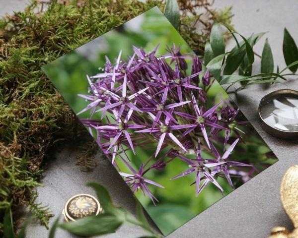 gorgeous photographic card of purple allium.