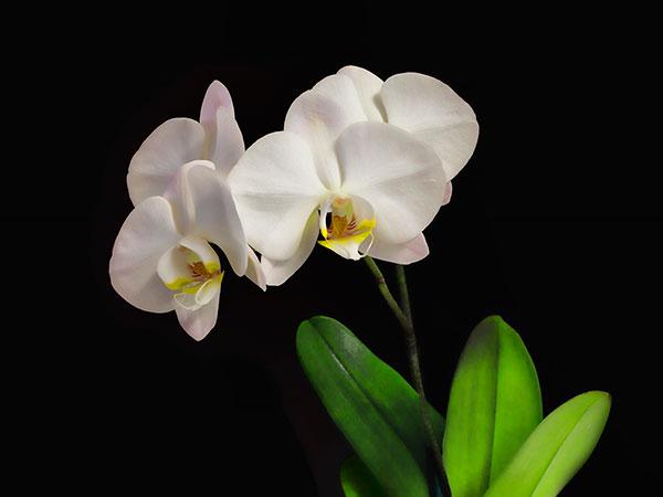 """Dave Coronel """"White Orchids"""""""