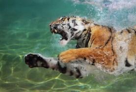 Aquatic Tiger