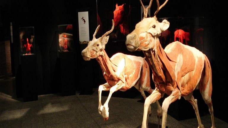 Image:  Inside of two plastinated running deers at the Franklin Institute Body Worlds Animals Inside Out in Philadelphia shows why they are fast runners