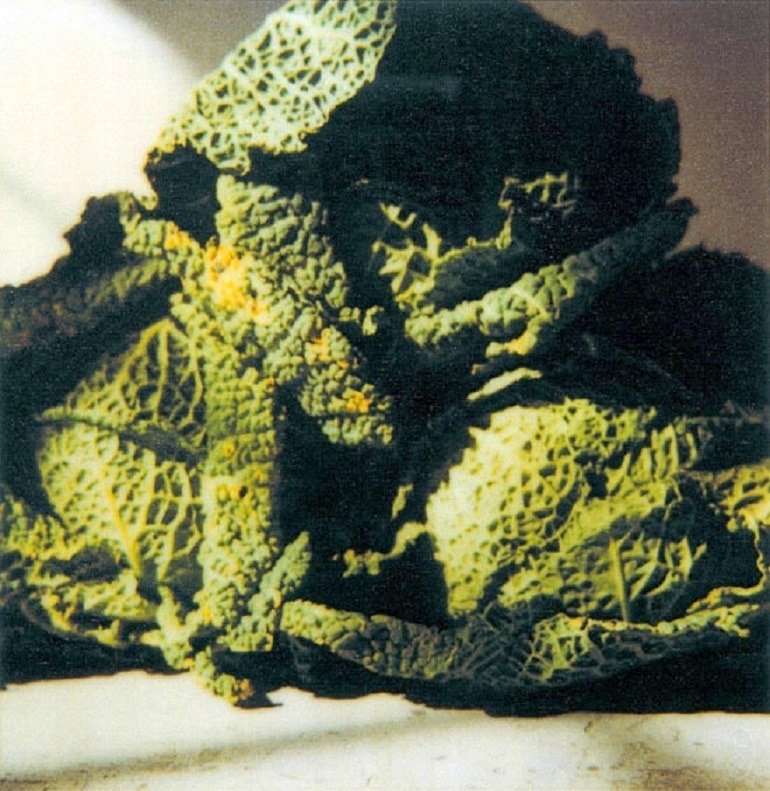 Image: Photography of Cabbages taken by Cy Twombly at Gaeta in 1998