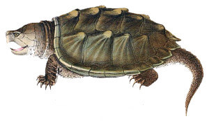 Alligator snapping turtle crop