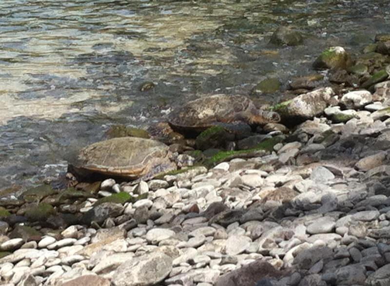 Two green sea turtles basking at Honokeana Cove