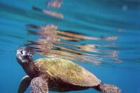 Green Sea Turtles, Honokeana Cove 200px