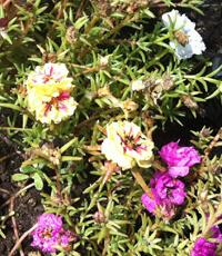 weed in garden portulaca 2 crop2 200px