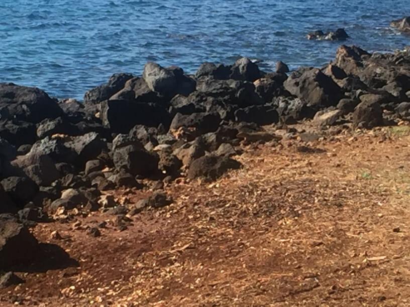 Maui walk - mongoose