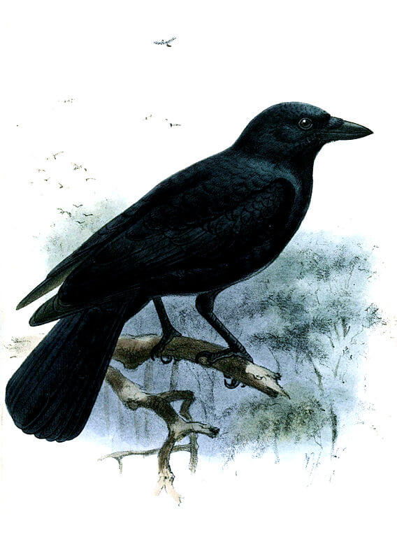 Smart birds - New Caledonian Crow