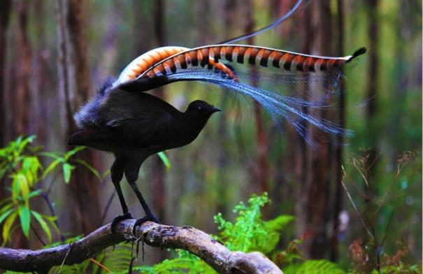 Risultati immagini per uccello lira