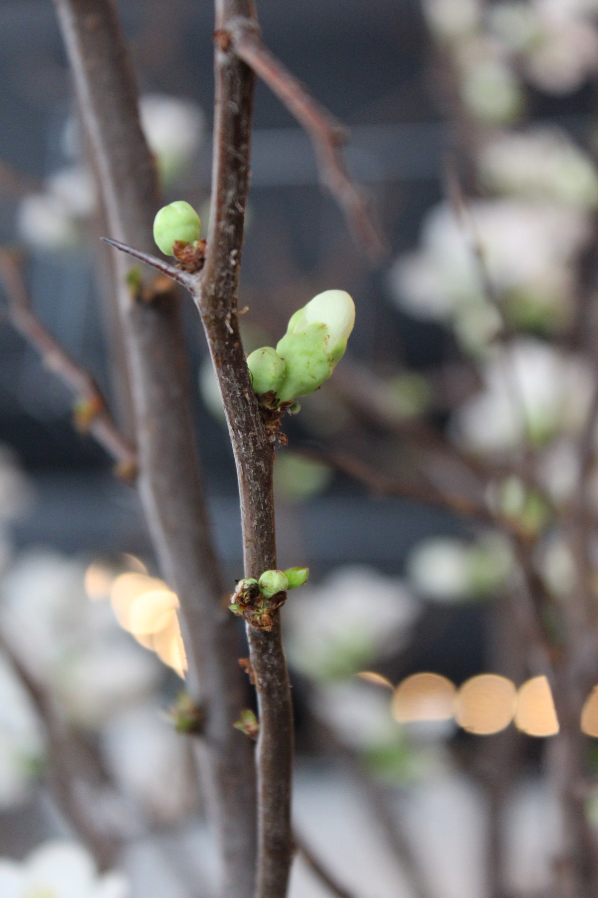 quince early white 1 jan2015