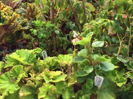 snugharbor-begonia-2
