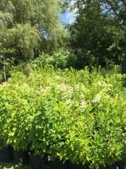 snugharbor-hydrangea