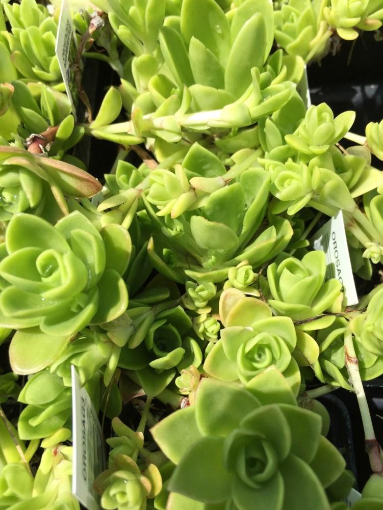 snugharbor-succulent orostachys aggregeatus