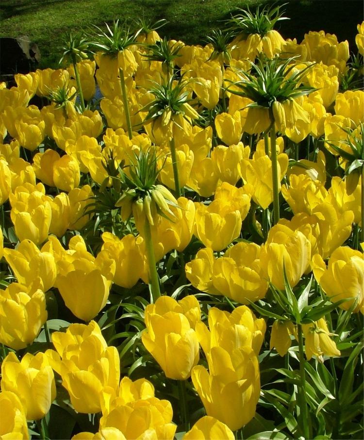 tulip-yellow-purissima-2