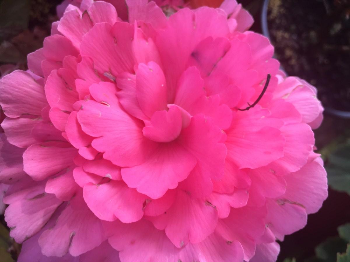 begonias 7