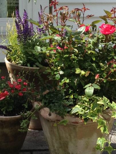 a perennial garden in aged terra cotta planters