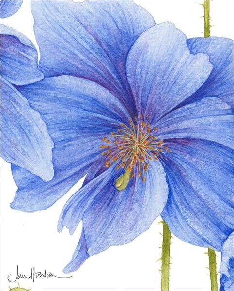 Ilustraciones de flores Jan Harbon 6