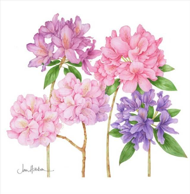 Ilustraciones de flores Jan Harbon 8