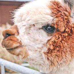 alpaca closeup