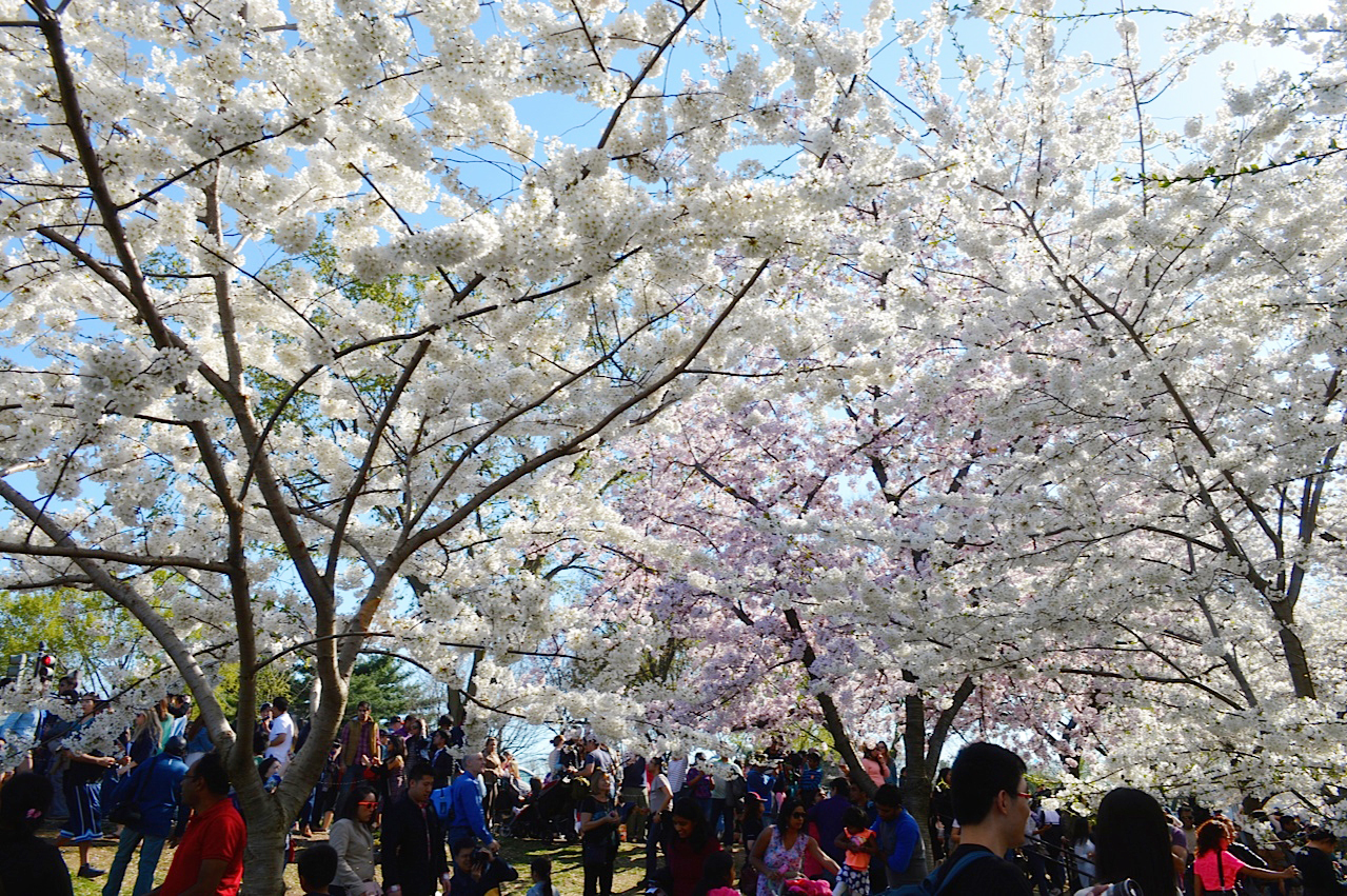 As cerejeiras que são símbolo de amizade entre países