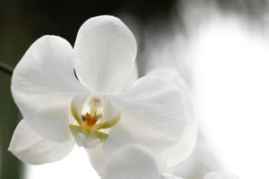 Daniela Romanesi - Orquídea III