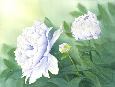 Peonies In White