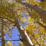 Doors - Quaking Aspen Trees - Inspired By Mother Nature- 2346HC