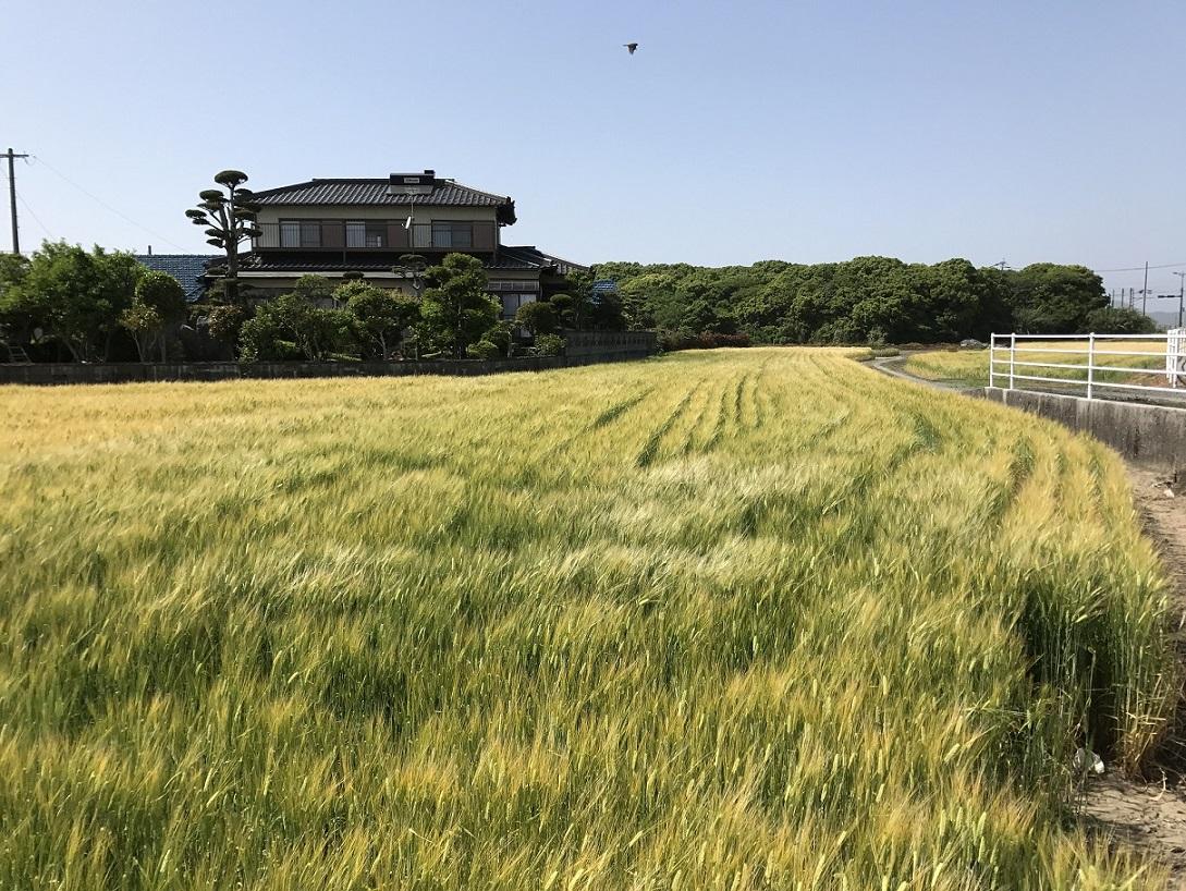 Prefektur Fukuoka Akan Tingkatkan Produksi Pertanian Gandum Untuk Hidangan Ramen