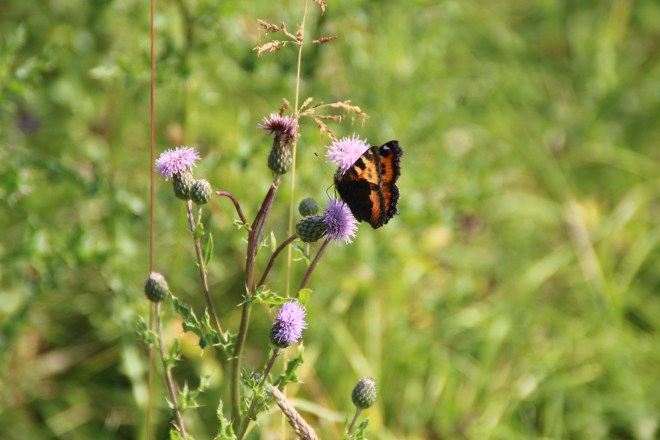 Orange and dark brown butterfly on a thistle.