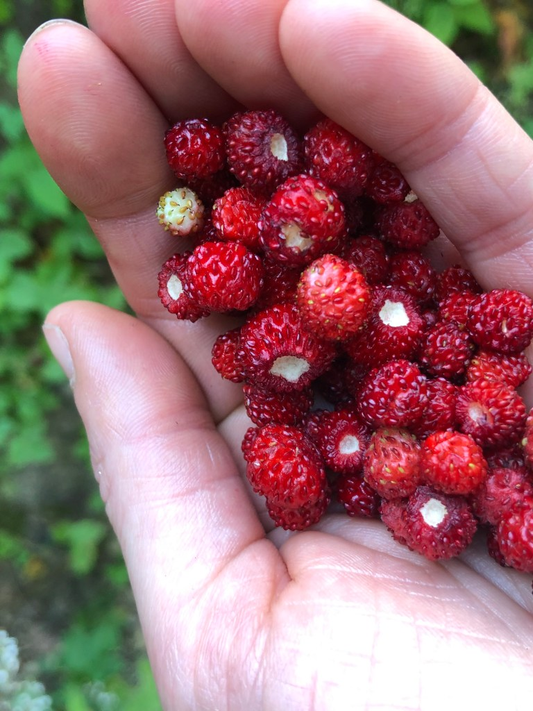 A single hand holding about thirty tiny red wild strawberries. The blurred background suggests ivy growing on a tree, or on the ground.