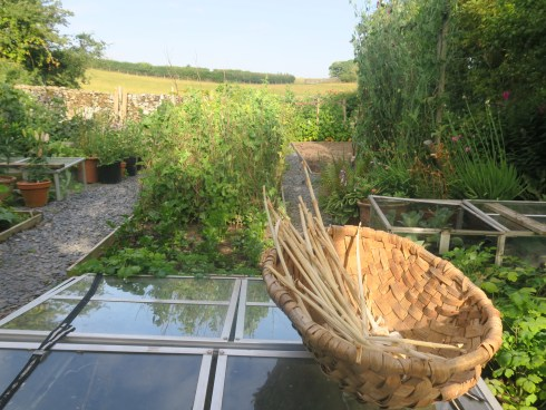 A swill - oak lathe basket - laid on a cold frame in a vegetable garden, on a sunny evening.