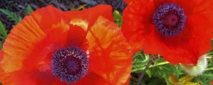 poppies, color inspiration, Artfully Quilted Design, Purple and Red
