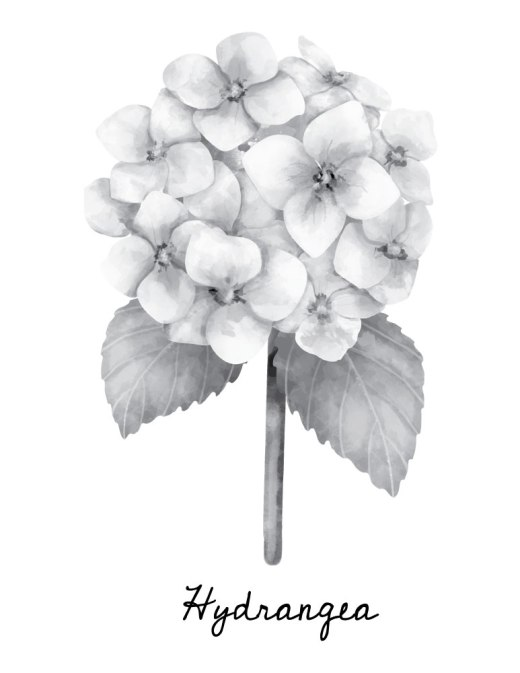 Page coloriage grayscale hydrangea