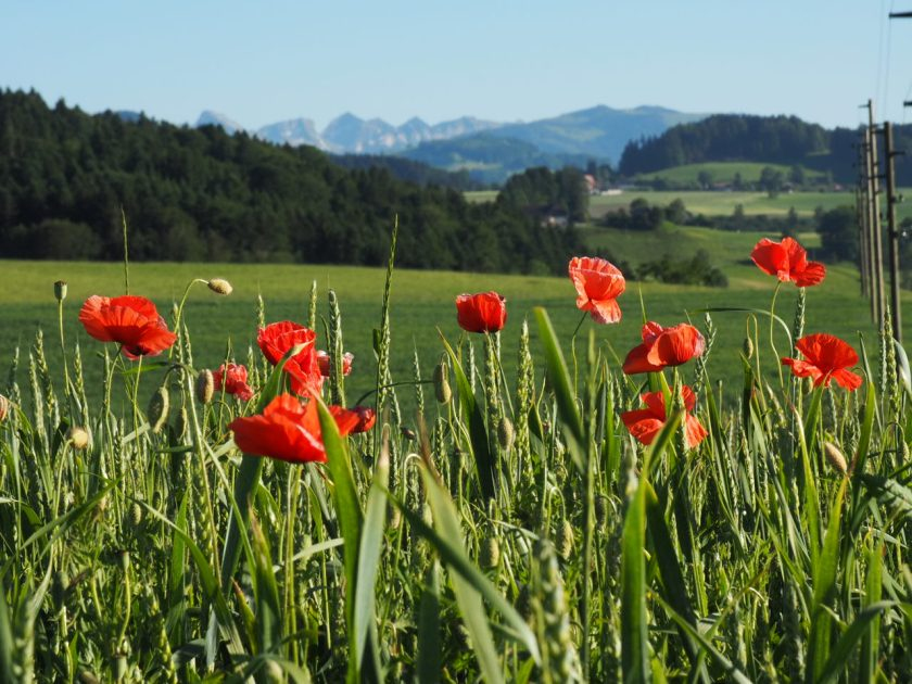 View of poppies and Swiss mountains in summer