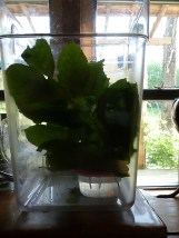 New contraption - can see water, leaves and big bucket