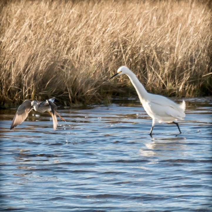 Snowy Egret and Lesser Yellowlegs at play