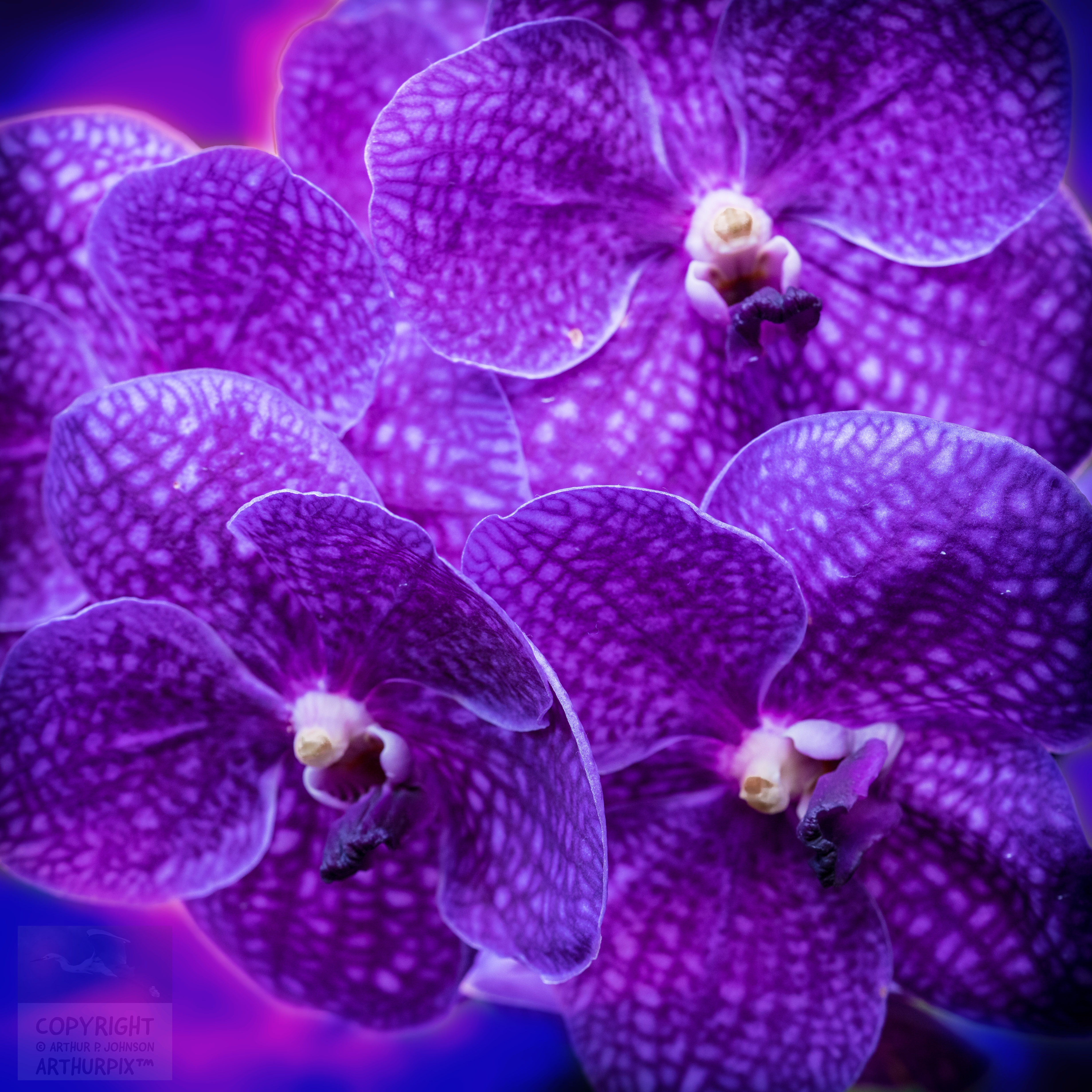 Deep purple cluster or orchid blossoms.