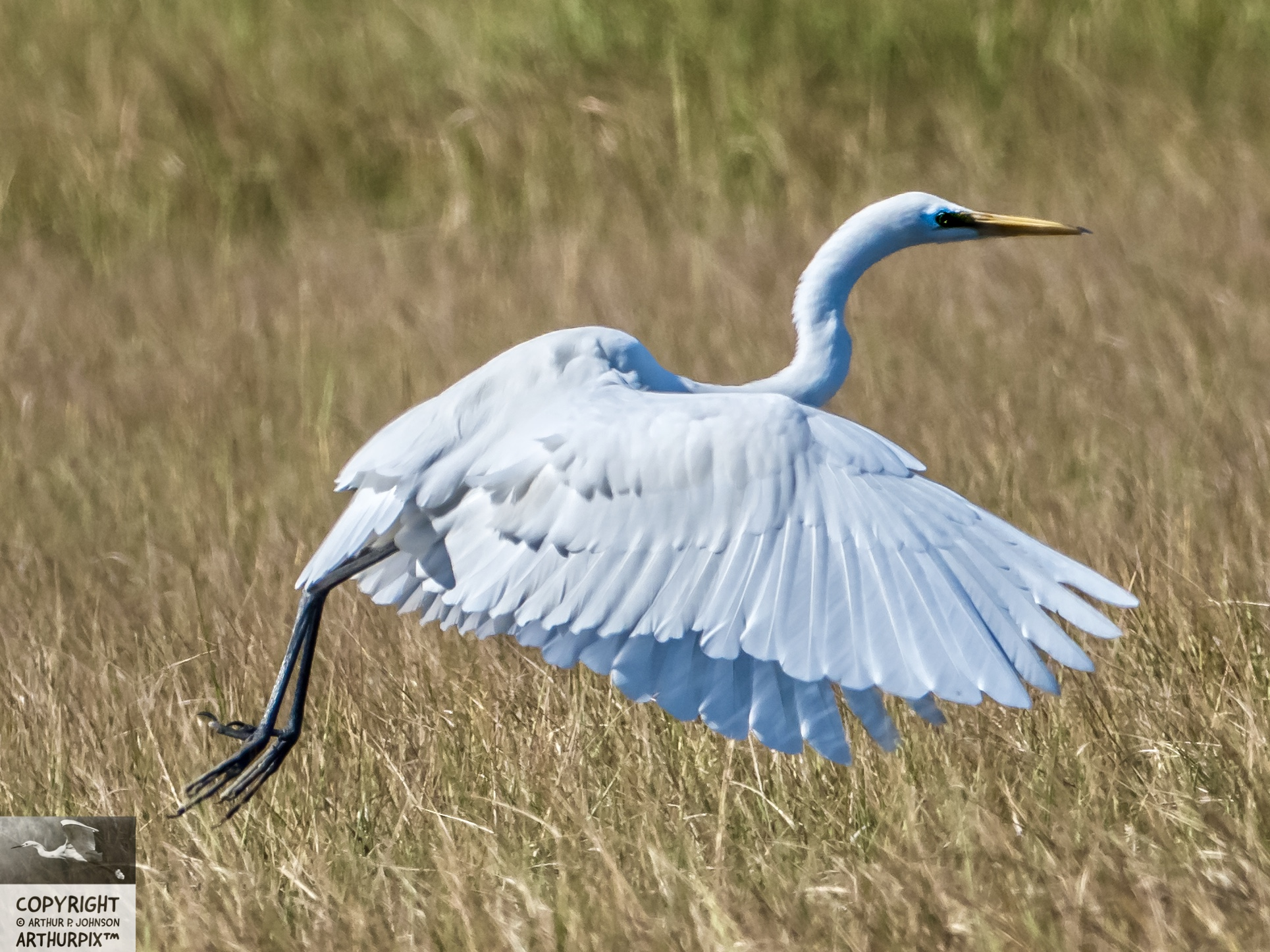 Egbert the Great Egret Takes Flight