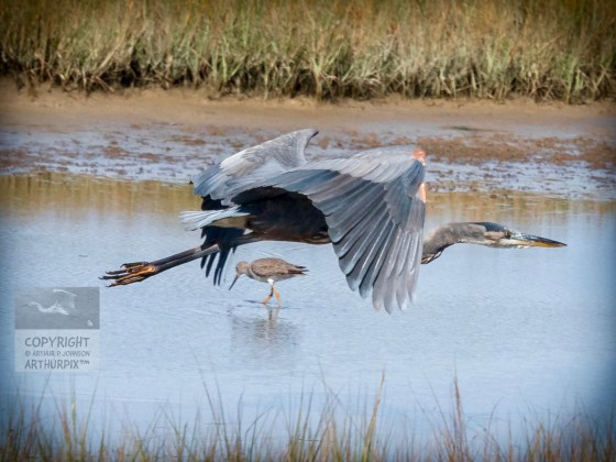 Flying Little Blue Heron with Lesser Yellowlegs in background