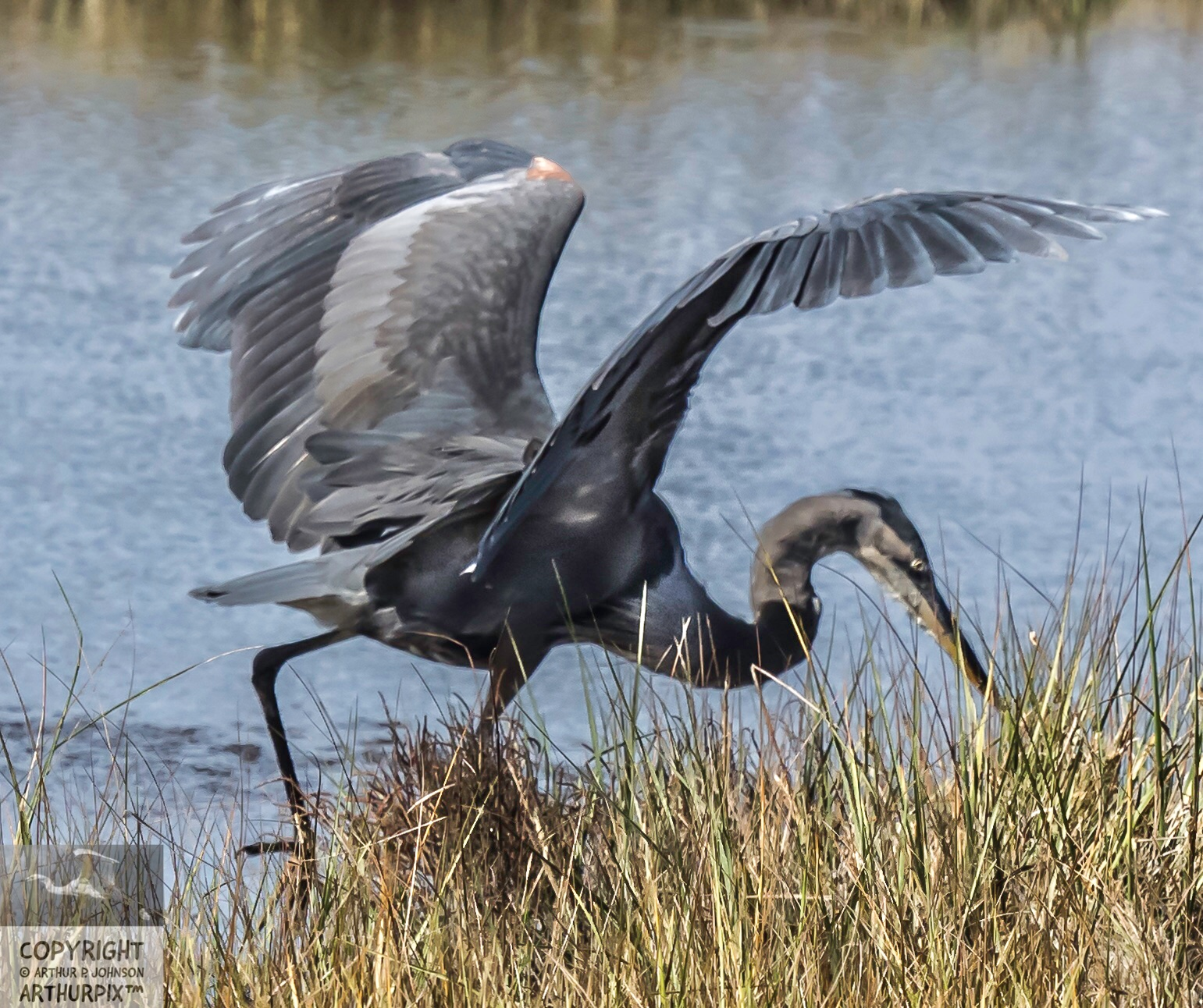 Little Blue Heron rooting for Voles,