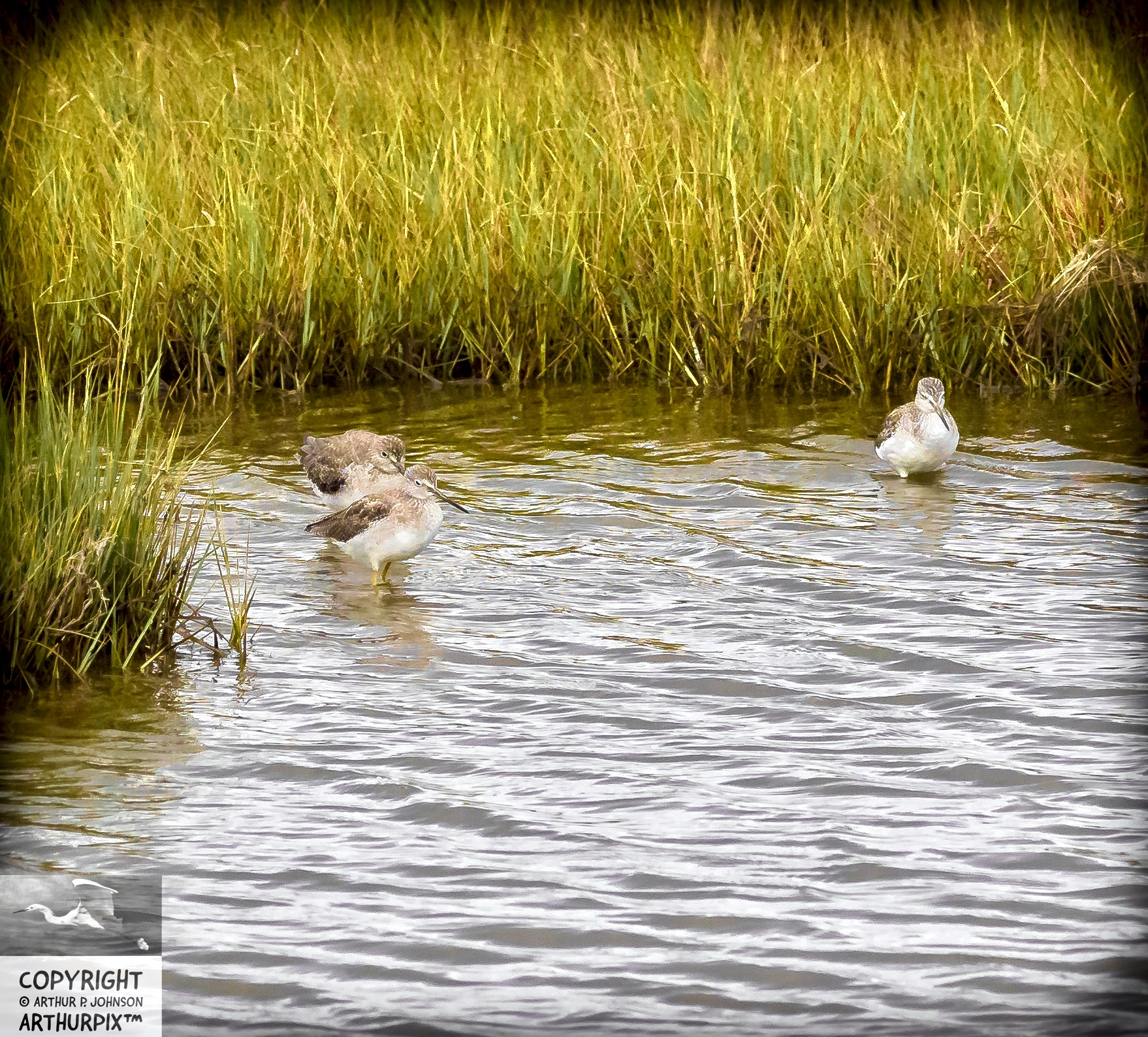 Three Lesser Yellowlegs Sitting in a Pool