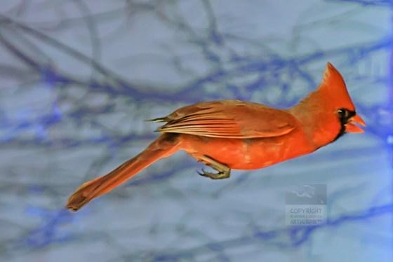 Cardinal in flight on a snowy day