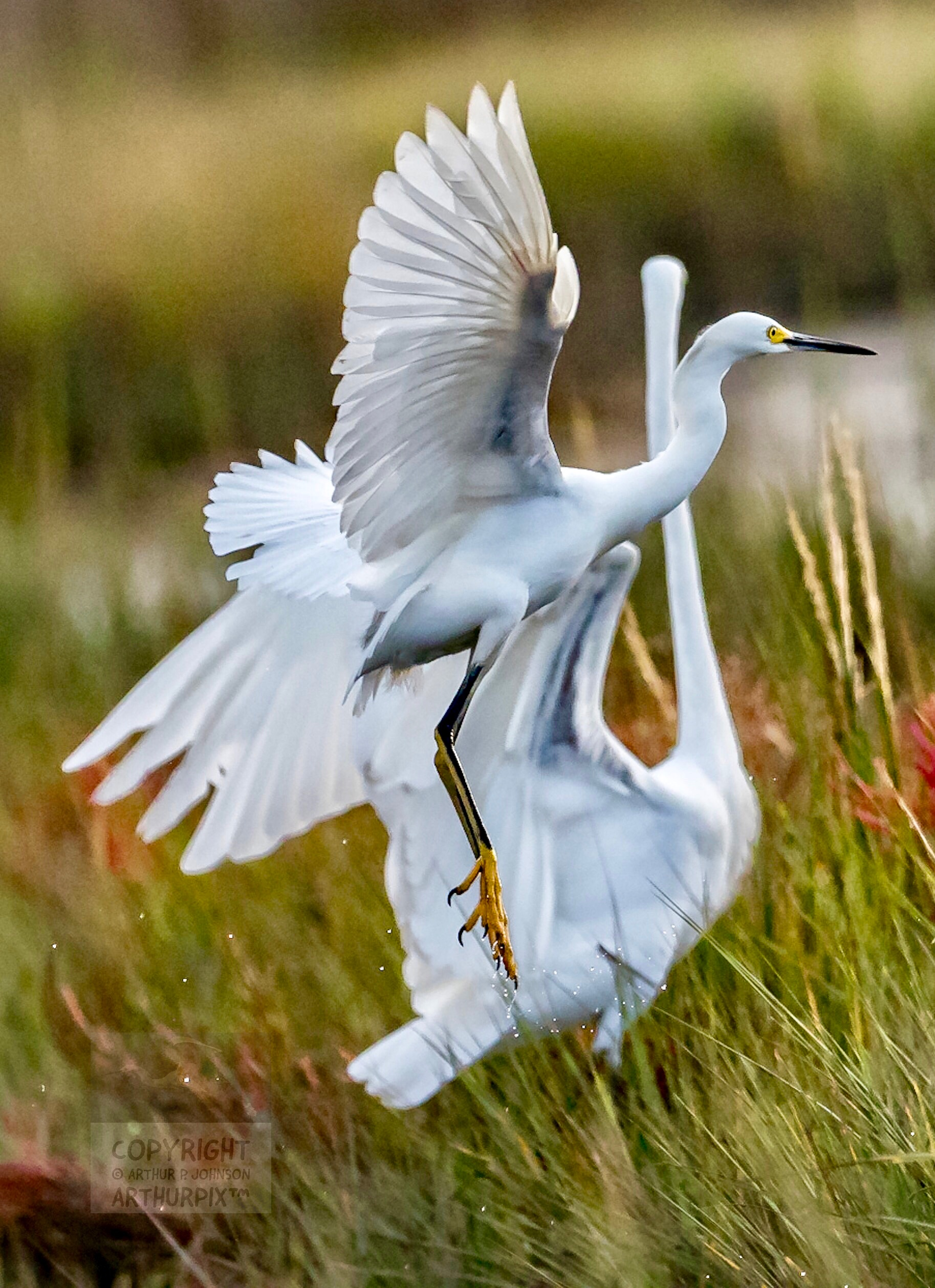 Juvenile Great Egret in Flight with adult in background