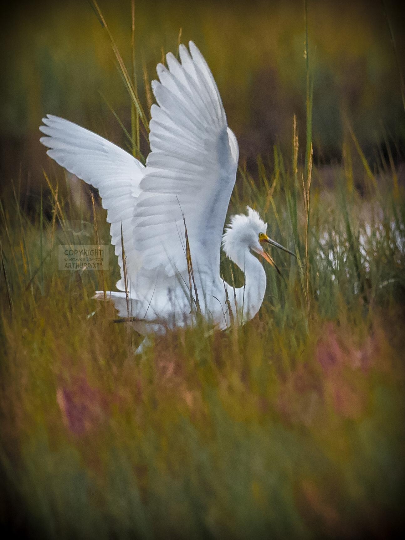 Juvenile Egret Calling, Wings Extended