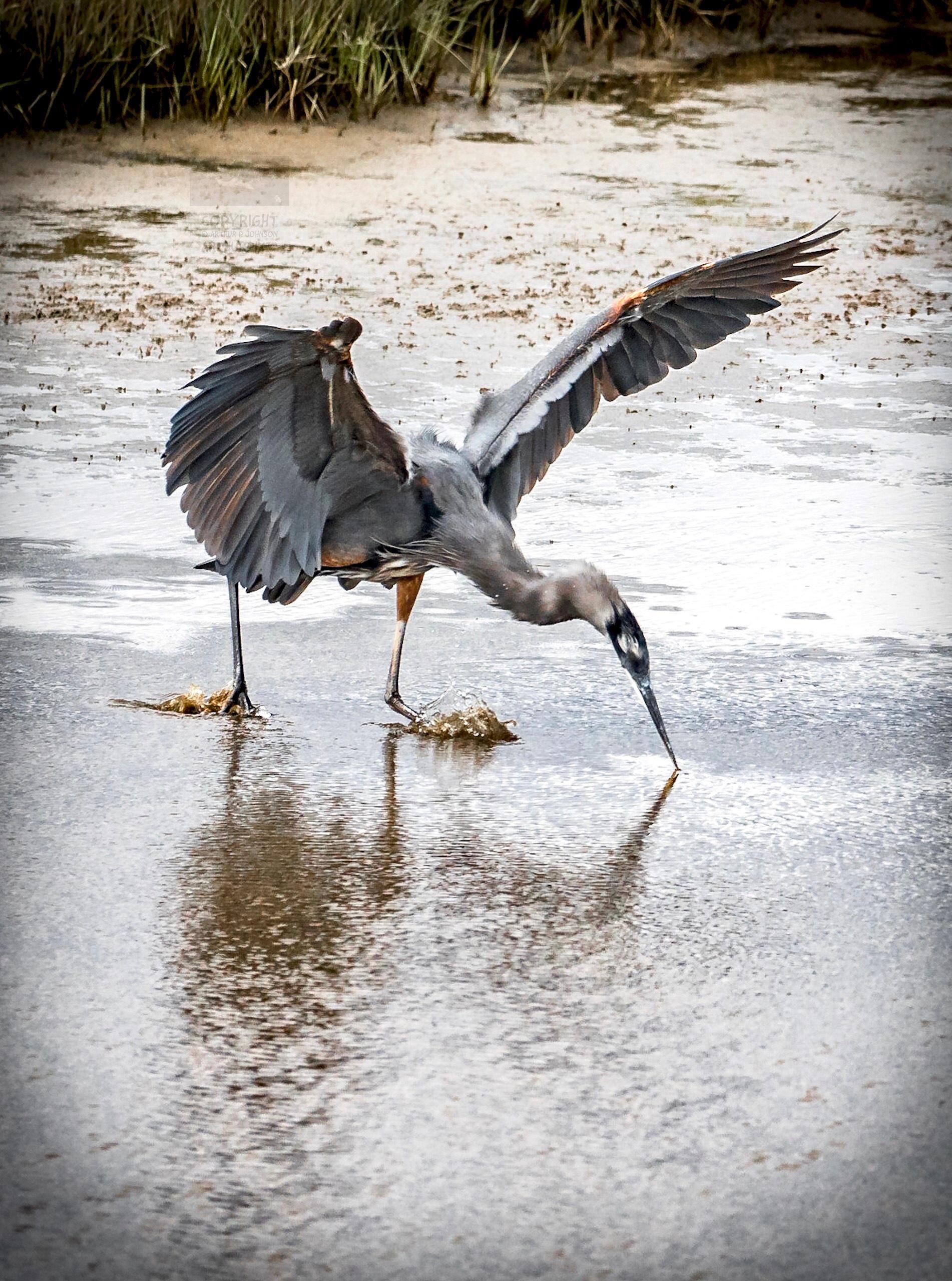 Little Blue Heron Feeding