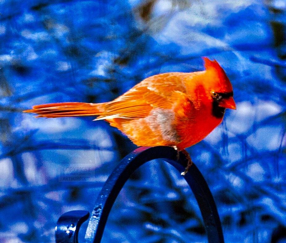 Make Cardinal in fresh snow