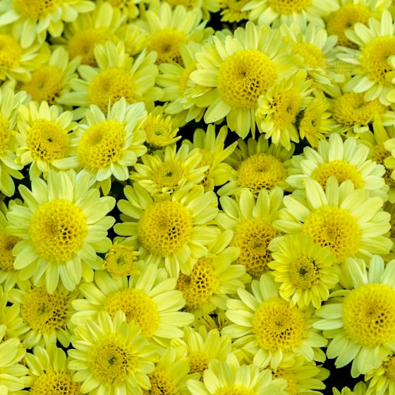 Goleen Hineycomb-center-Chrysanthemums