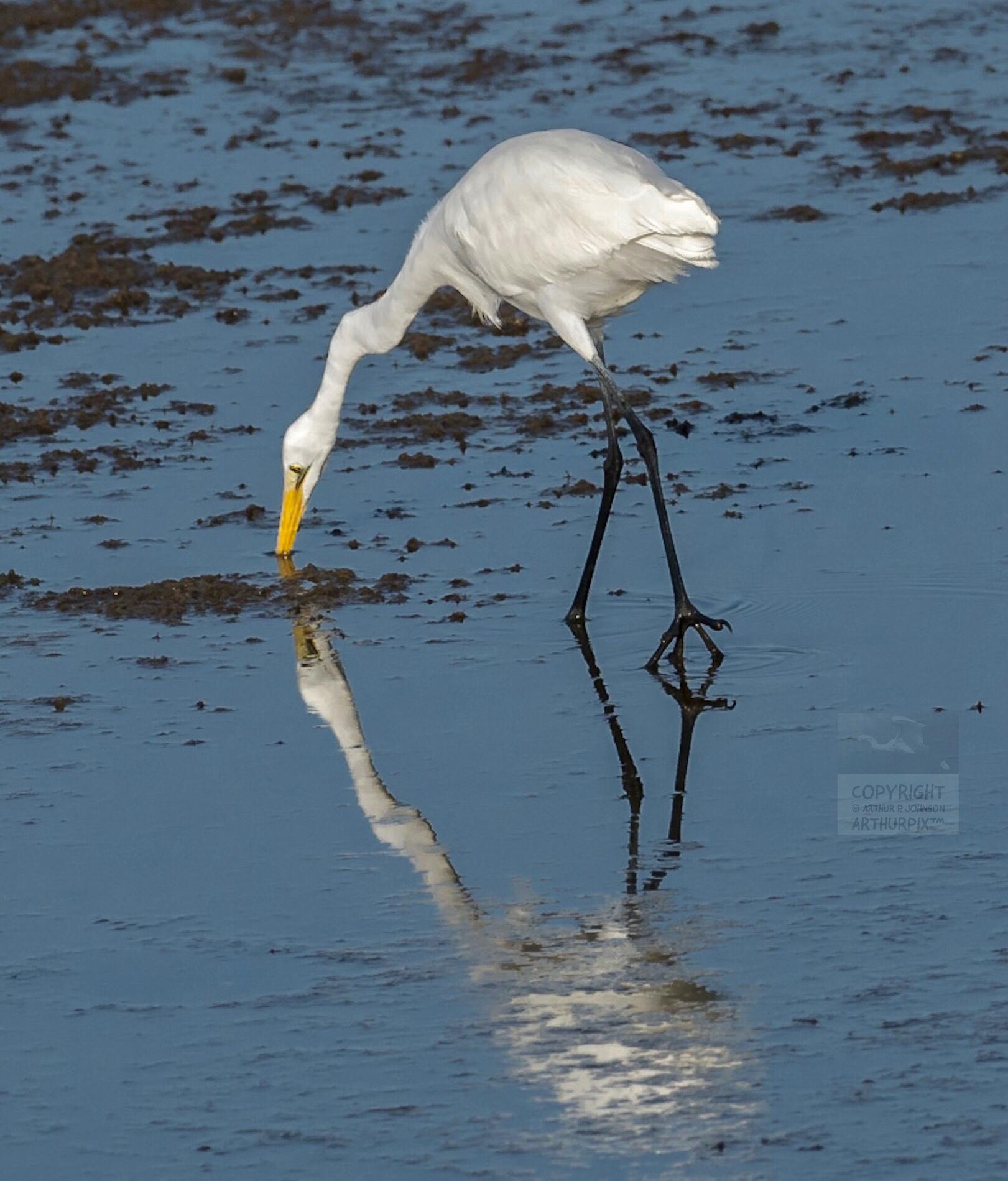 Great Egret catching something...