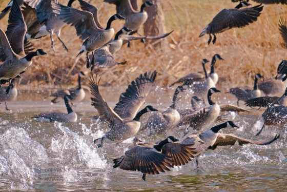 Migrating Canada Geese, rising up from a pond