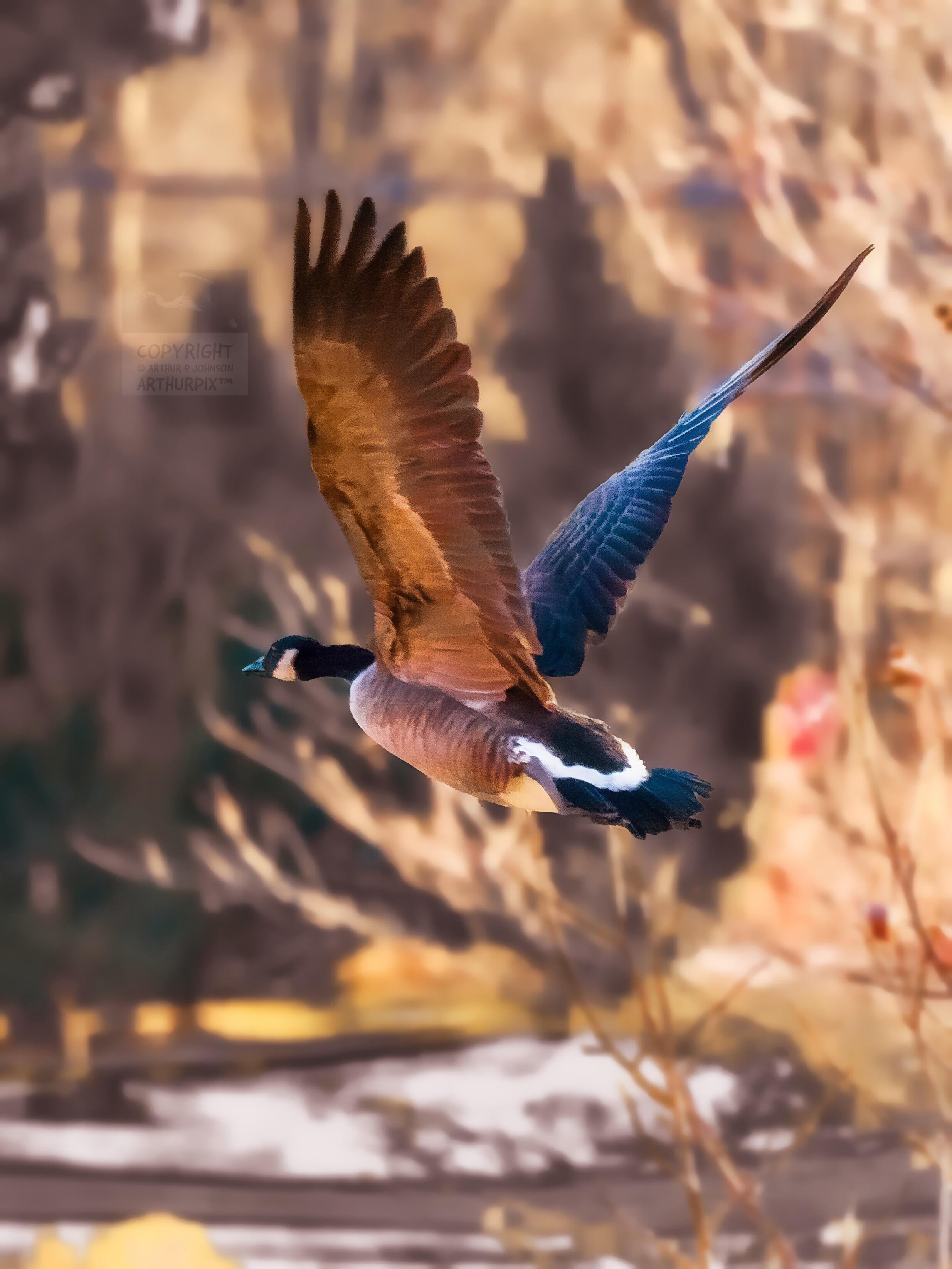 Canada Goose taking flight, winter 2017